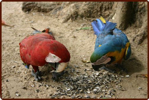 Macaws in the Pantanal